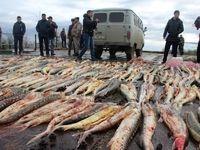 ممنوعیت صید ماهی خاویار خزر تمدید شد