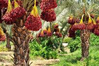 صادرات خرما مشمول عوارض صادراتی میشود