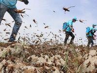 پیشبینی ۳برابر شدن هجوم ملخهای صحرایی در سال جاری