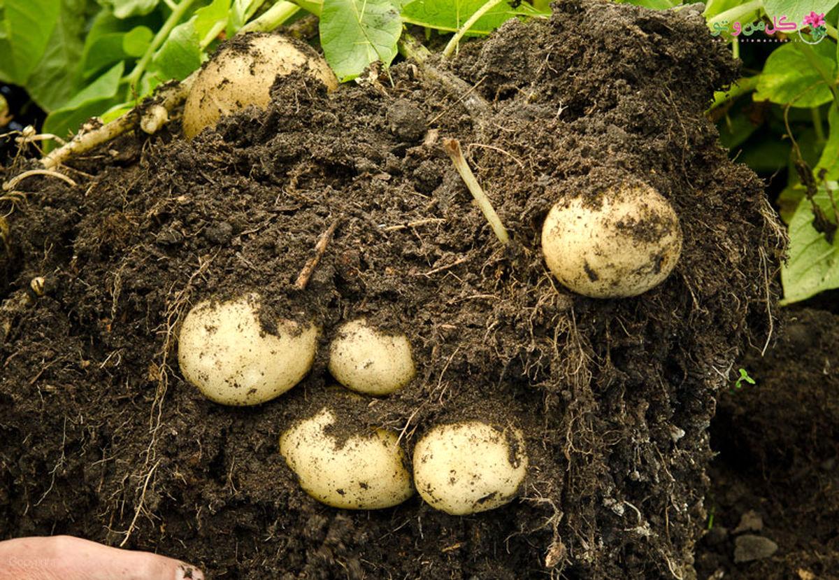 پروتئین های مرتبط با چاقی در انسان می تواند سبب رشد محصولات کشاورزی شود!