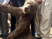 چرا ۴ محیطبان متهم مرگ توله خرس قهوهای شدند؟