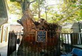 قدیمیترین درخت شهر تهران +عکس