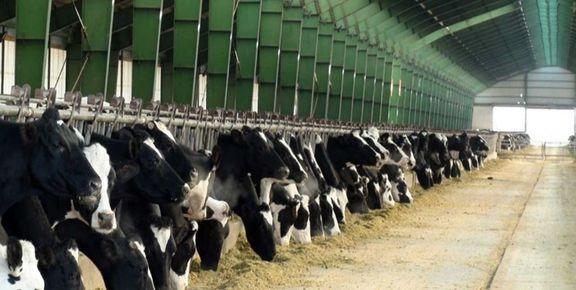 افزایش ۱۸.۳درصدی قیمت تولید محصولات گاوداری صنعتی