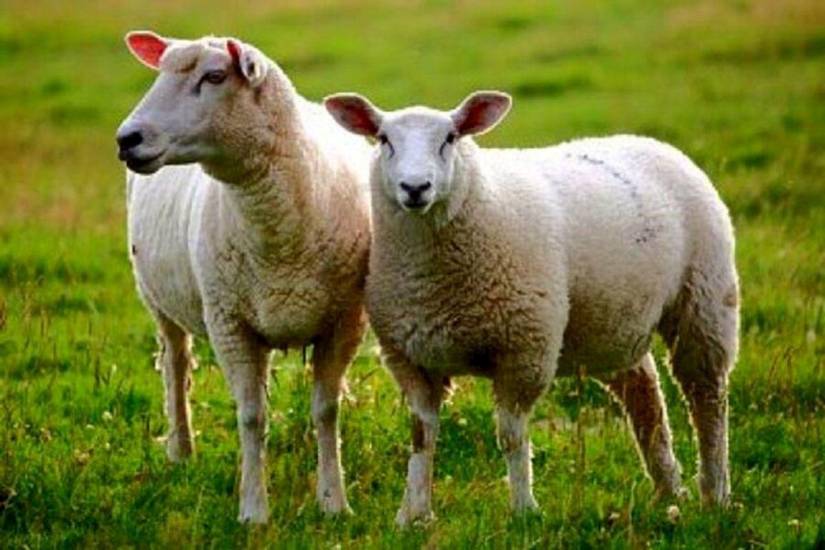 علت گرانی گوشت و دام در مراسمها چیست؟