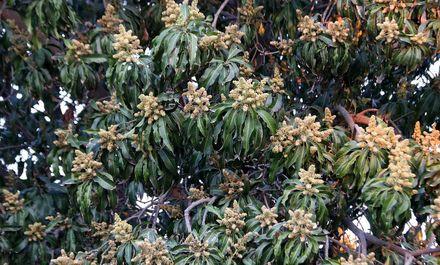 شکوفه دهی درختان انبه در هشت بندی هرمزگان